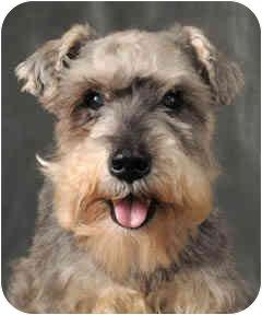 Schnauzer (Miniature) Dog for adoption in Chicago, Illinois - Billy