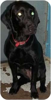 Labrador Retriever Mix Dog for adoption in Crookston, Minnesota - Nomer