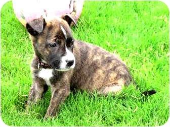Boxer/Shepherd (Unknown Type) Mix Puppy for adoption in Vista, California - Coco