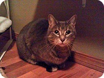 Domestic Shorthair Cat for adoption in Edmonton, Alberta - Jacquie