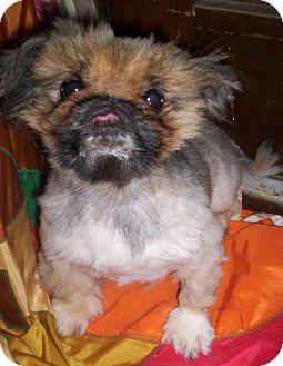 Pekingese Dog for adoption in Apex, North Carolina - Micah