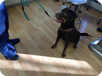 Labrador Retriever Mix Dog for adoption in Morristown, New Jersey - Pharaoh