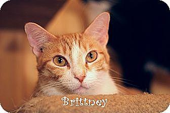 Domestic Shorthair Cat for adoption in Wichita Falls, Texas - Brittney