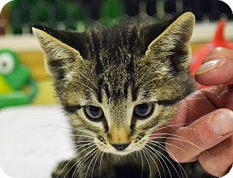 Domestic Shorthair Kitten for adoption in Searcy, Arkansas - Luna