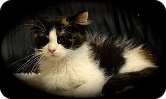Maine Coon Kitten for adoption in Cincinnati, Ohio - Maine Coon Mixes: 2F, 2M