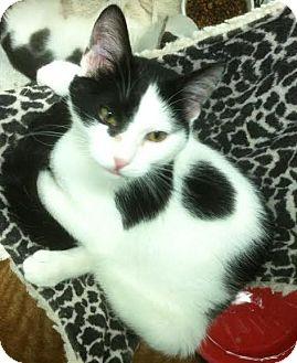 Domestic Shorthair Cat for adoption in Westminster, California - Karen