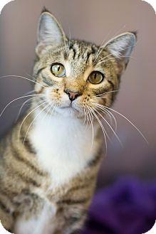 Domestic Shorthair Cat for adoption in Carencro, Louisiana - Owen