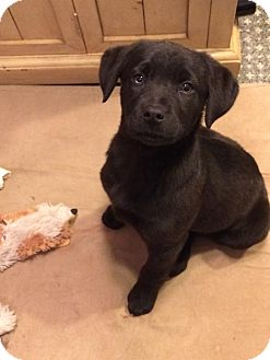 Labrador Retriever Mix Dog for adoption in Naugatuck, Connecticut - Elsa