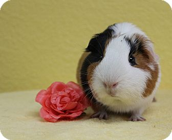 Guinea Pig for adoption in Benbrook, Texas - Blossom