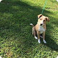 Adopt A Pet :: Lily - Providence, RI