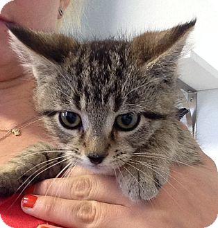 Domestic Shorthair Kitten for adoption in Greensburg, Pennsylvania - Kinsnet