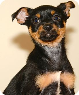 Chihuahua/Terrier (Unknown Type, Small) Mix Puppy for adoption in Kalamazoo, Michigan - Benji