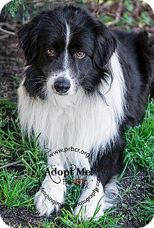 Border Collie Dog for adoption in Charleston, South Carolina - Kieran