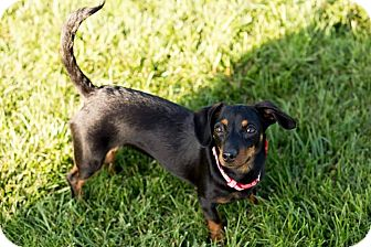 Dachshund Mix Puppy for adoption in New Oxford, Pennsylvania - Pebbles