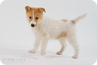 Collie Mix Puppy for adoption in Cedar Rapids, Iowa - Ringo
