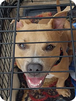 Staffordshire Bull Terrier Mix Puppy for adoption in Lubbock, Texas - Idgie