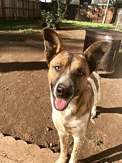 Australian Cattle Dog Mix Dog for adoption in Long Beach, California - Beethoven