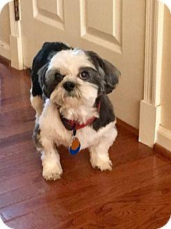 Shih Tzu Dog for adoption in Wilmington, Massachusetts - Willow:adoption pending!