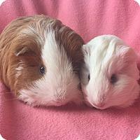 Adopt A Pet :: Jenny - Steger, IL