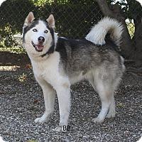 Adopt A Pet :: Kodiak - Santa Barbara, CA