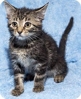 Domestic Shorthair Kitten for adoption in Mt. Prospect, Illinois - Pluto