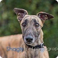 Adopt A Pet :: Fuzzy - Dallas, TX