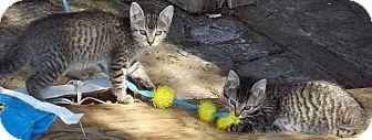Domestic Shorthair Kitten for adoption in Salem, Oregon - Daphne