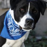 Adopt A Pet :: Degus - Heber City, UT