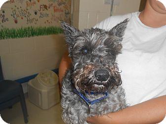 Schnauzer (Miniature) Mix Dog for adoption in Lockhart, Texas - Lola Belle
