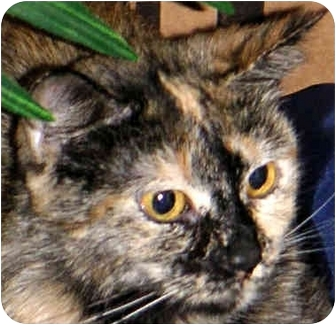 Domestic Longhair Cat for adoption in Troy, Michigan - Angela & Sissy