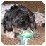 Photo 4 - Poodle (Miniature)/Shih Tzu Mix Dog for adoption in Latrobe, Pennsylvania - Reggie