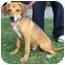 Photo 1 - Spaniel (Unknown Type)/Beagle Mix Dog for adoption in Toronto/Etobicoke/GTA, Ontario - MuttleyPENDING