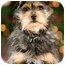 Photo 1 - Yorkie, Yorkshire Terrier/Cairn Terrier Mix Dog for adoption in Portland, Oregon - Jimmy