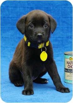 Labrador Retriever/Retriever (Unknown Type) Mix Puppy for adoption in Westminster, Colorado - VIENNA