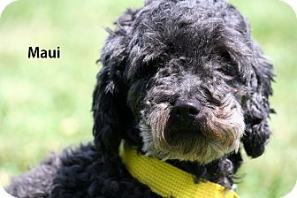 Poodle (Miniature) Mix Dog for adoption in Gallatin, Tennessee - Maui
