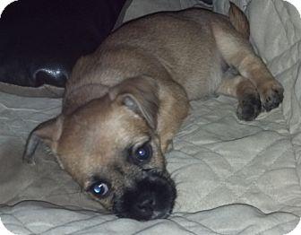 Terrier (Unknown Type, Small)/Shih Tzu Mix Puppy for adoption in Flower Mound, Texas - Velma