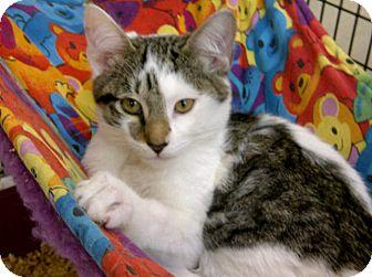 Domestic Shorthair Kitten for adoption in Bradenton, Florida - Johnnie