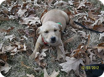 Labrador Retriever Mix Puppy for adoption in Williston, Vermont - Wembly
