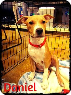 Labrador Retriever/American Pit Bull Terrier Mix Dog for adoption in Silsbee, Texas - Daniel