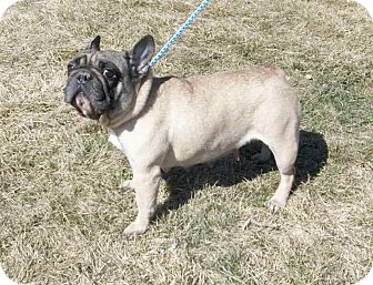 French Bulldog Dog for adoption in Liberty Center, Ohio - Cally