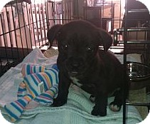 Labrador Retriever Mix Puppy for adoption in Thousand Oaks, California - Rue