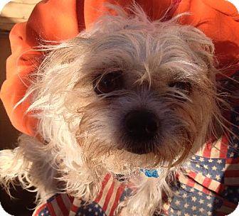Brussels Griffon Dog for adoption in Woodward, Oklahoma - Betti