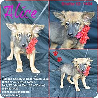 Adopt A Pet :: Alice - Plano, TX