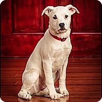 Adopt A Pet :: Noel - Owensboro, KY