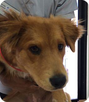 Golden Retriever Mix Puppy for adoption in Santa Ana, California - Geisha