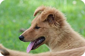 Collie/Golden Retriever Mix Puppy for adoption in Harmony, Glocester, Rhode Island - Larry