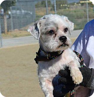 Shih Tzu Dog for adoption in Gardnerville, Nevada - Matt