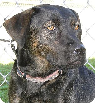 Mountain Cur Mix Dog for adoption in Brooksville, Florida - Goldie