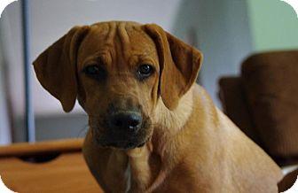 Coonhound (Unknown Type)/Labrador Retriever Mix Puppy for adoption in Rochester, New York - Charlie
