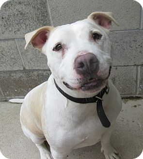 Pit Bull Terrier Mix Dog for adoption in Lake Odessa, Michigan - Buttercup